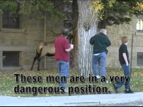 The Dangers of the Elk Rut - Yellowstone
