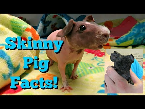 10 Facts About Skinny Pigs