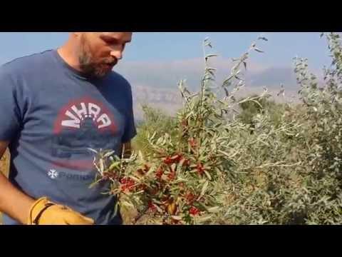 Silver Buffalo Berries -WildUtahEdibles.com