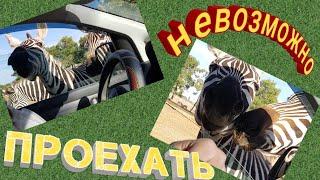 Звери заглядывают в машину. Сафари в Израиле, Забавное поведение животных.