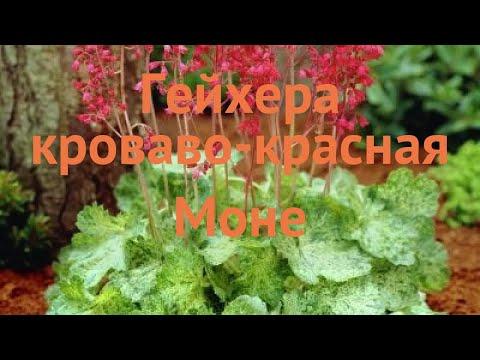 Гейхера кроваво-красная Моне (heuchera sanguinea monet) 🌿 обзор: как сажать, саженцы гейхеры Моне