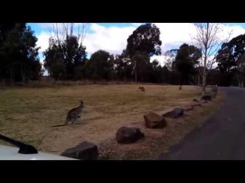 Australian Kangaroos in Canberra, ACT