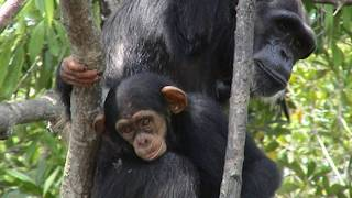Heartbreaking Story Of 66 Apes And A Baby
