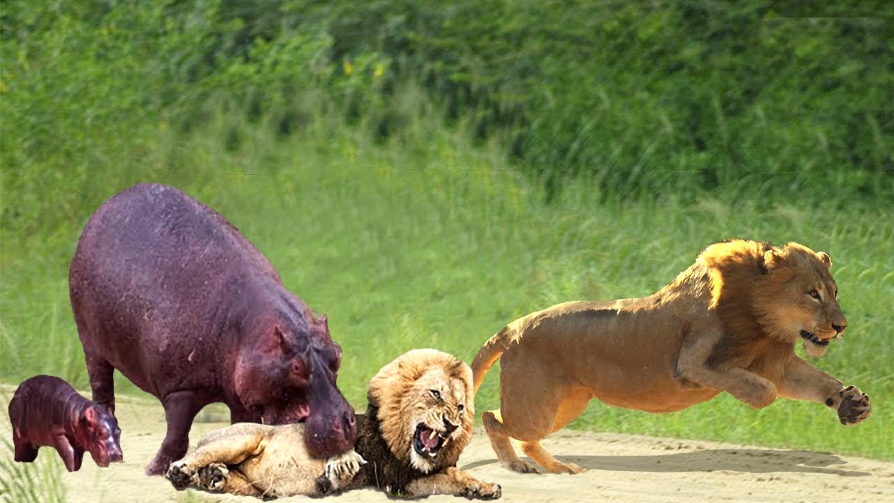 Unbelievable!!! The male lion panicked when a hippo attacked suddenly, the male lion vs hyena