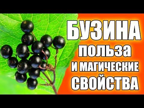 Бузина черная плоды полезные свойства и противопоказания