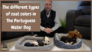 Different Types of Coat Colors in the Portuguese Water Dog