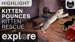 Kitten Pounces!  - Kitten Rescue Live Cam Highlight 10/07/17