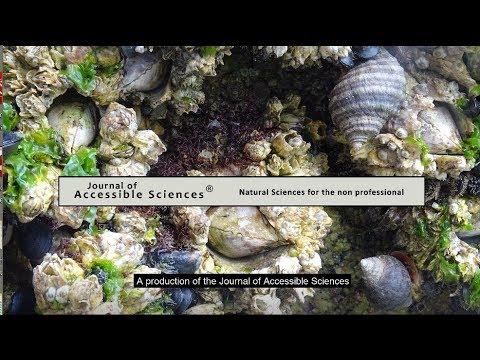 Puget Sound Intertidal (III) - Barnacles