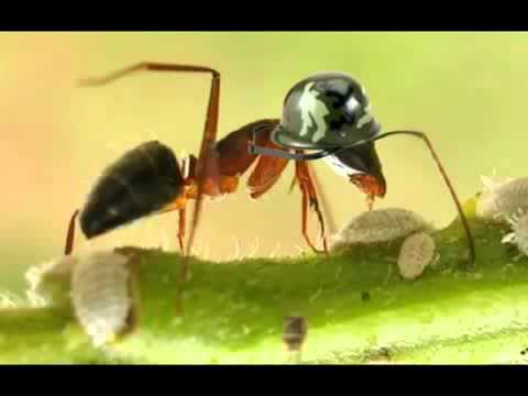 The Malaysian Exploding Ants Go On Suicide Missions Youtube