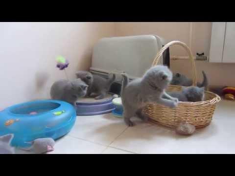 Фото темно-голубого британского котенка