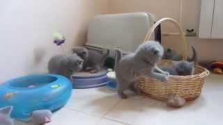 Голубые британские котята. Игры-игры-игры.