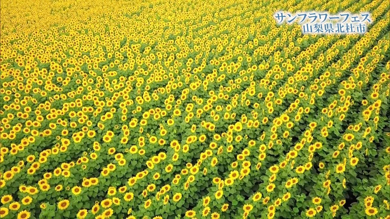 明野 ひまわり 畑