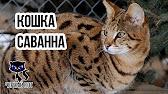 Главная » котята » купить котят саванна. Мать: sayna shine golden irbis кошка саванна. Цена:. Отец: tothem shine golden irbis бенгальский кот.