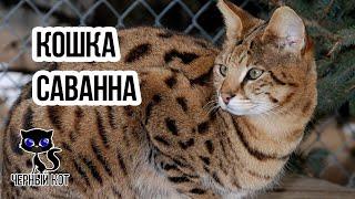 Кошка саванна / Интересные факты о кошках