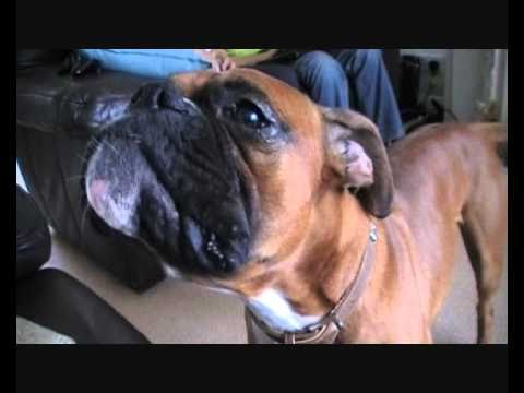 Troy the Talking Boxer Dog Says Mama!