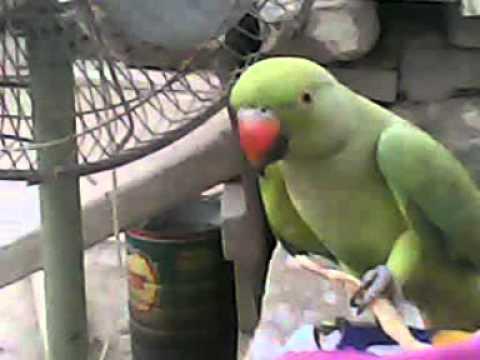 Sindhi Speaking parrots.fighting ot mani3GP