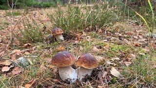 Поляны белых грибов в конце октября! Беларусь! Просто посмотрите!!!!!