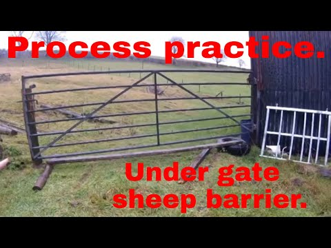 Process practice. Under gate sheep barrier