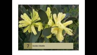 Golden Wattle - HerbiGuide