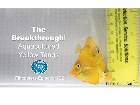 Yellow Tangs -The Breeding Breakthrough Fincasters Episode 122