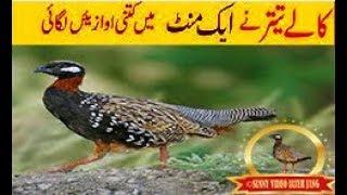black partridge | black partridge voice | black partridge bird | black partridge call