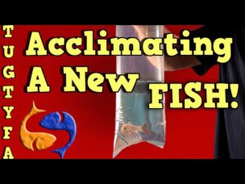 Acclimating New Fish Into Your Aquarium, The Ultimate Guide To Your First Aquarium Part 7