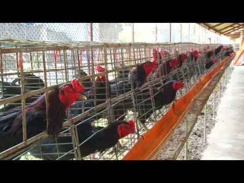 การเลี้ยงไก่