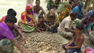 কচু চাষ করে লাখপতি  প্রতিবেদন দেখুন   Mahfuzur Rahman