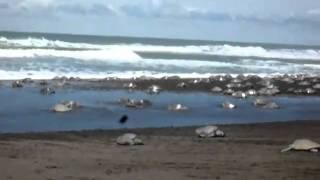 Olive Ridley sea turtle Arribada at Playa Ostianal, Costa Rica.mp4