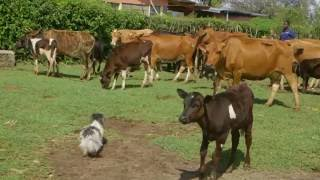 Shamba Shape Up Sn 06 - Ep 6 Conservation Agriculture, East Coast Fever, Loans (Swahili)