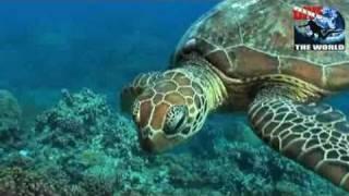 Australien Tauchen: Cairns Barriere Riff Video. Paarende Schildkröten und Clownfische
