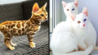 Rarest Cats That Exist