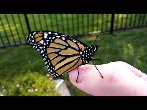 A Monarch Butterfly!