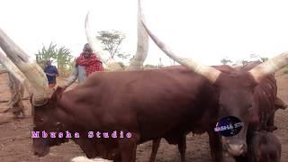 Download Video Bhulemela thomasi - Wimbo - Harusi Ya Nikolasi - Mbasha Studio - mp4 video MP3 3GP MP4