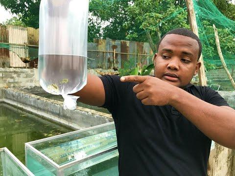Pira a vs oscar doovi for Como hacer un criadero de peces