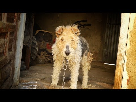Dog spent a lifetime chained to a wall... she cries when we free her !
