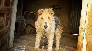 dog-spent-a-lifetime-chained-to-a-wall-she-cries-when-we-free-her