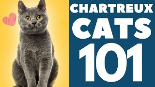 The Chartreux Cat 101 : Breed & Personality