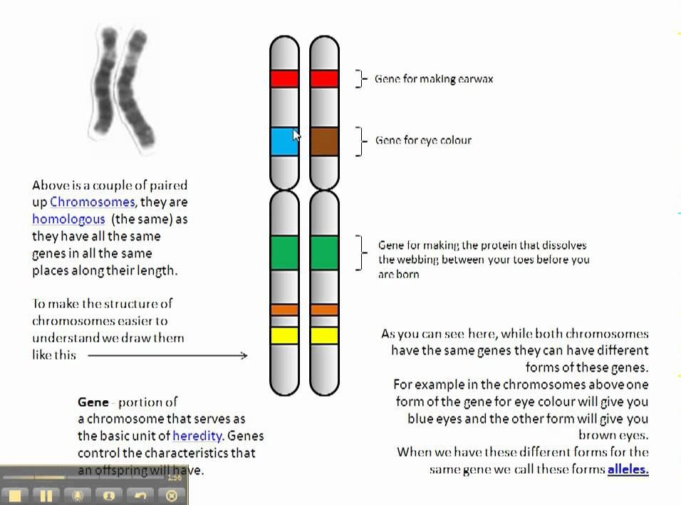 structure of chromosomes and relationship to genes