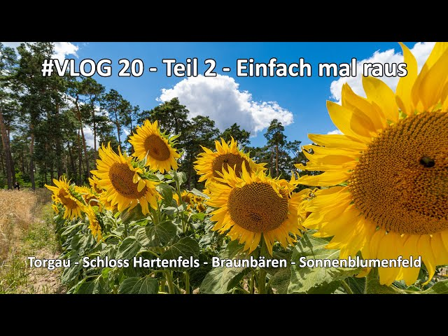4k // VLOG #020 - Teil 2 - Muldestausee - Schloss Hartenfels Torgau - Sonnenblumenfeld - Braunbären
