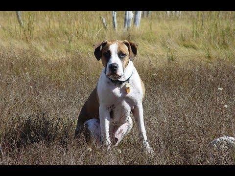 American Bulldog +  Labrador Retriever : American Bullador Dog