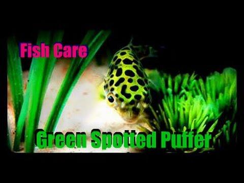 Fish Profile: Green Spotted Puffer (True Care)