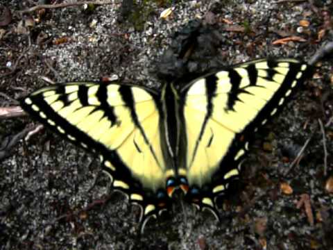 Yellow and black butterfly - Canadian tiger swallowtail