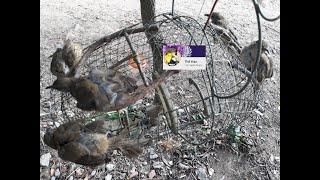 Bẩy Chim Trao Trảo , Hoành Hoạch Vàng ( Bird and animal hunting in Vietnam ) Full HD .