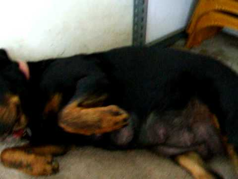 pregnancy-rottweiler-dogs-ready-to-deliver-puppies