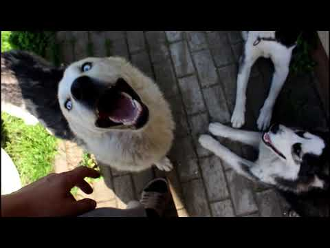 How my Huskies Have Different Fur But From Are The Same Litter (10 Months Old)