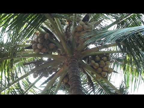 Mangalore karnataka iindia....coconut tree