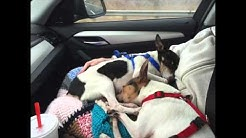 Toy Fox Terrier Rescue - Freedom Ride