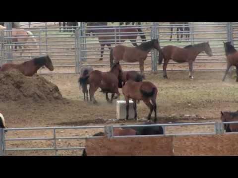 FREE SPIRITS -  SAVING AMERICA'S WILD HORSES