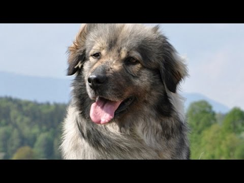 Karst Shepherd Dog / Dog Breed